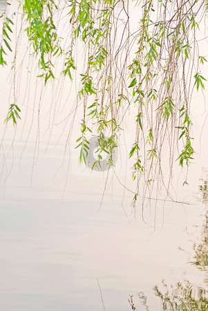 Green willow and lake stock photo, Green willow in peaceful lake by Lawren