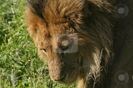 A male lion in kenya 2 stock photo, A close up of a male lion in samburu national park kenya by Mike Smith