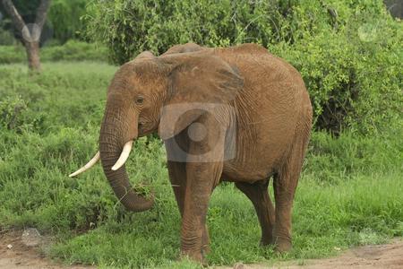 Elephant at samburu stock photo, A young elephant in samburu national park northern kenya by Mike Smith