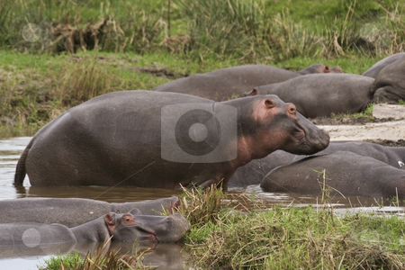 Hippos in kenya stock photo, A group of hippos on the masai mara kenya by Mike Smith