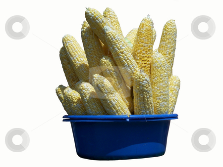 Corn On The Cob  stock photo, Corn On The Cob isolated on white by CHERYL LAFOND