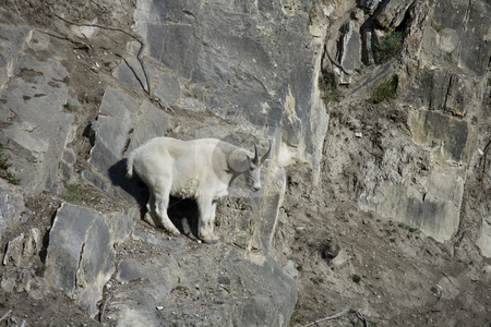 Billy Mountain Goat looking down from a cliff stock photo, Billy Mountain Goat looking down from a cliff, Jasper National Park by Sharron Schiefelbein