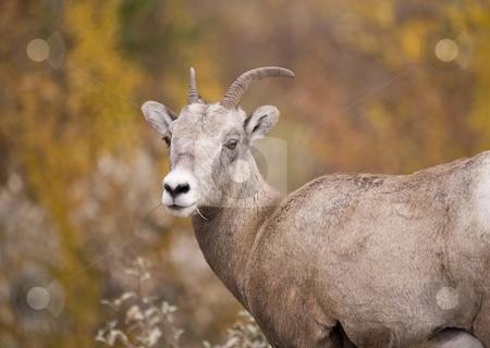 Rocky Mountain Bighorn Sheep stock photo, Bighorn Sheep in Jasper Alberta Canada by Sharron Schiefelbein