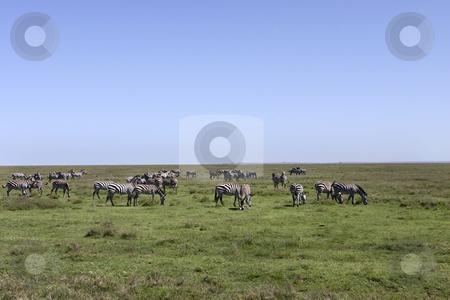 Zebra Herd in the Serengeti stock photo, Zebra Herd in the Serengeti Tanzania Africa by Sharron Schiefelbein