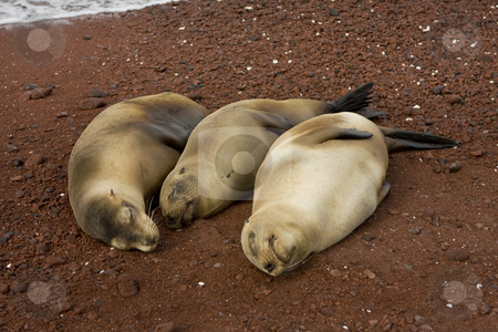 Three pregnant sea lions waiting to give birth stock photo, Three pregnant sea lions waiting to give birth on the Galapagos Islands. Ecuador, South America by Sharron Schiefelbein