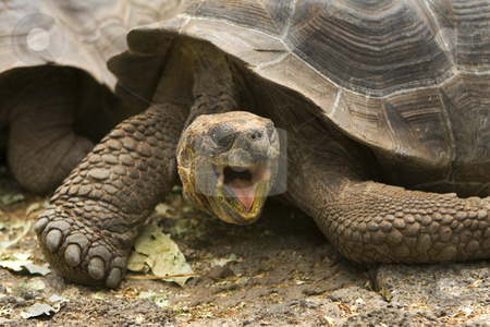 Giant Galapagos tortoise, Geochelone elephantopus stock photo, A Giant Galapagos tortoise, Geochelone elephantopus, found on the Galapagos Islands, Ecuador, South America by Sharron Schiefelbein