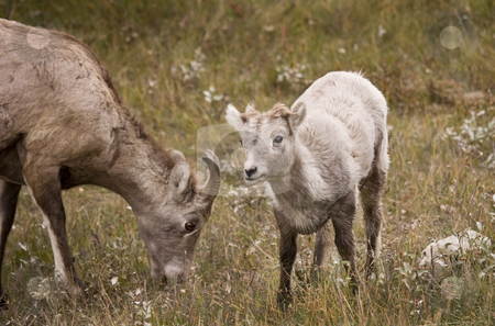 Young Rocky Mountain Bighorn Sheep stock photo, Young Bighorn Sheep in Jasper Alberta Canada by Sharron Schiefelbein