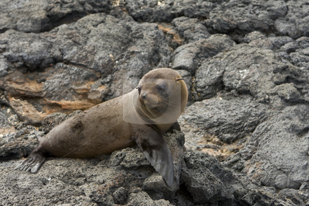 Sea lion in the Galapagos Islands stock photo, A young Sea lion in the Galapagos Islands, Ecuador, South America by Sharron Schiefelbein