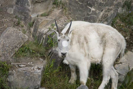 Close-up of Billy Mountain Goat on cliff edge of cliff stock photo, Close-up of Billy Mountain Goat on cliff edge of cliff by Sharron Schiefelbein