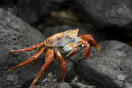 Sally Lightfoot crab stock photo, A Sally Lightfoot Crab, also known as Red Crab on Isla Santiago or Isla San Salvador, Galapagos Islands, Ecuador, South America by Sharron Schiefelbein