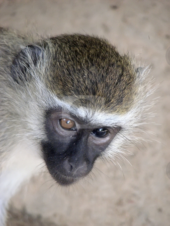 Vervet Monkey Serengeti, Tanzania stock photo, One brown eye, one blue eyed Vervet Monkey Serengeti, Tanzania by Sharron Schiefelbein