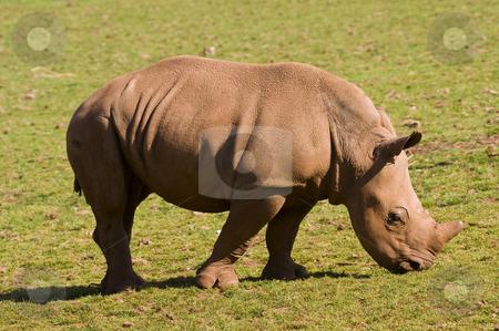 White Rhinoceros Baby stock photo, Closeup of baby White Rhinoceros (Ceratotherium simum simum) by Stephen Meese