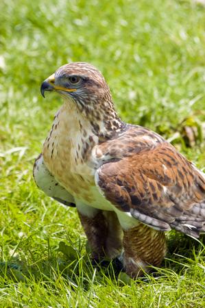Harris Hawk stock photo, Close up of Harris Hawk (Parabuteo Unicintus) by Stephen Meese