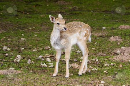 Fallow Deer Fawn stock photo, Close up of a Fallow Deer (Dama dama) fawn by Stephen Meese