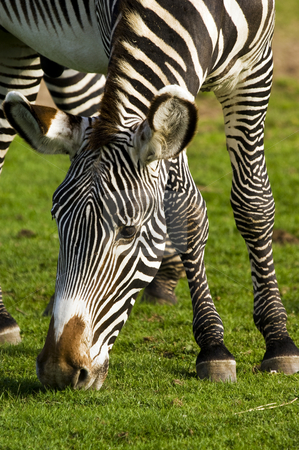 Zebra stock photo, Close up of Grevys zebra (Equus grevyi) by Stephen Meese