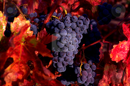 Zinfandel Grapes stock photo, USA, California, Napa Valley, Zinfandel Grapes by David Ryan