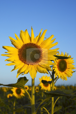 Sunflower field 2 stock photo, Sunflowers in a field in early morning under a summer sky by Mike Smith
