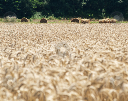 Golden wheat field stock photo, Golden wheat field with hay bales on the background by Laurent Dambies