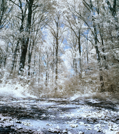 Infrared forest stock photo, Panoramic infrared picture of a forest with leaves on the ground by Laurent Dambies