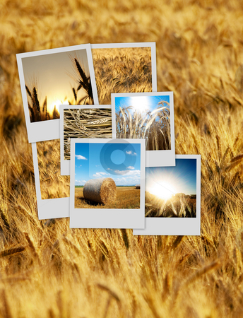 Pile of polaroids over a wheat background stock photo, Pile of nature polaroids over a wheat background by Laurent Dambies