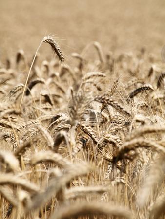 Golden wheat field  stock photo, Golden wheat field closeup in summer by Laurent Dambies