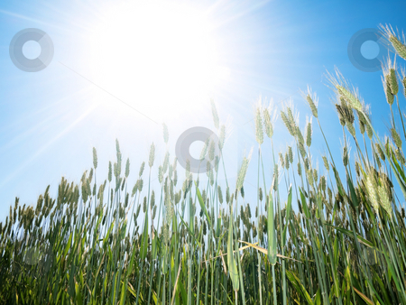Green wheat and sun stock photo, Green wheat field against summer sun by Laurent Dambies