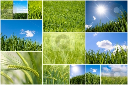 Green wheat collage stock photo, Collection of green wheat field pictures by Laurent Dambies