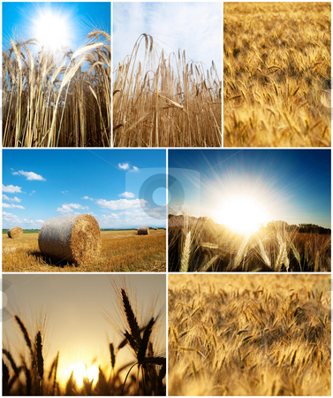 Nature composite picture stock photo, Collage  of wheat pictures  at summer in the countryside by Laurent Dambies