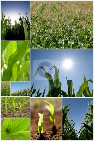 Green corn collage stock photo, Collection of green corn field pictures by Laurent Dambies