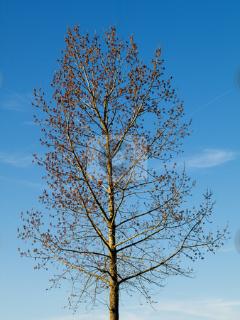 Blooming tree stock photo, Beautiful  blooming tree under blue sky by Laurent Dambies