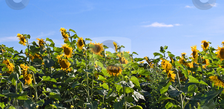 Panoramic Sunflowers stock photo, A panoramic view of sunflowers in the early evening by Richard Nelson