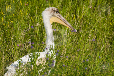 Pelican In Grass stock photo, A pelican all alone is hiding in some long grass outside by Richard Nelson