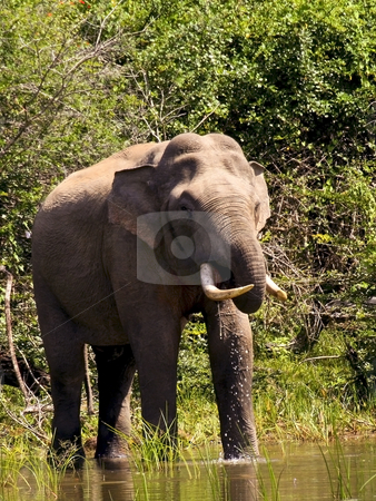 Yala tusker drinking stock photo, A yala tusker taking a drink at a water hole in sri lanka by Mike Smith
