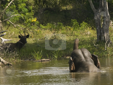 Taking the plunge 8 stock photo, A sambhar deer watching an elephant bathing in yala national park by Mike Smith