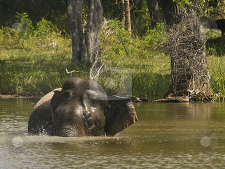 Taking the plunge 5 stock photo, An elephant taking a bath in yala national park by Mike Smith