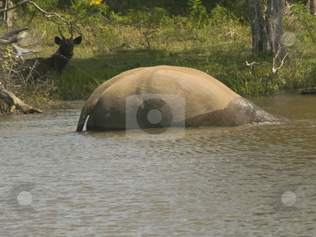 Taking the plunge 3 stock photo, A sambhar deer watching an elephant bathing in yala national park by Mike Smith