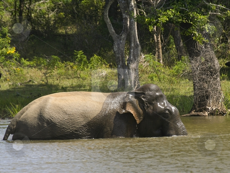 Taking the plunge 4 stock photo, An elephant taking a bath in yala national park by Mike Smith