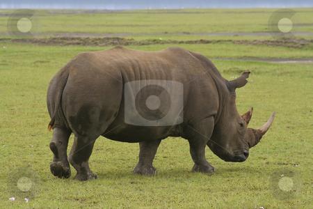 White rhino in kenya stock photo, A white rhino in nakuru national park kenya by Mike Smith