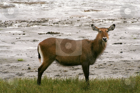 Water buck in kenya stock photo, A water buck at a water hole in kenya by Mike Smith