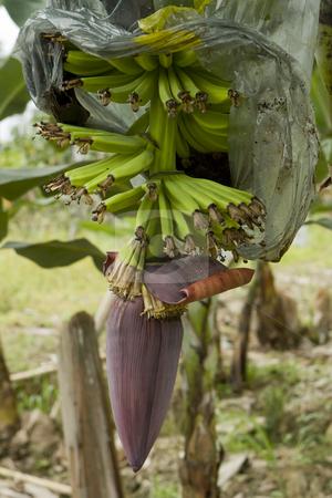 Banana Plantation in Ecuador stock photo, Banana Plantation in Ecuador by Sharron Schiefelbein