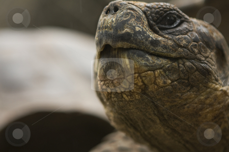 Close-up of Galapagos Tortoises mouth stock photo, Close-up of Galapagos Tortoises mouth by Sharron Schiefelbein