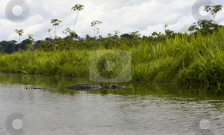 Large 12 foot Caiman in the Amazon stock photo, Large 12 foot Caiman in the Amazon by Sharron Schiefelbein