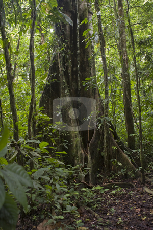 Tropical tree in the Ecuadorian Amazon stock photo, Tropical tree in the Ecuadorian Amazon by Sharron Schiefelbein