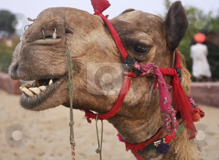 Camel in desert Oasis India stock photo, Camel in desert Oasis India by Sharron Schiefelbein