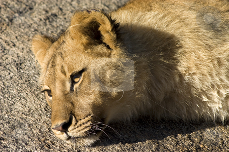 Resting lion stock photo, Close up of a young lion resting on a rock by Darren Pattterson