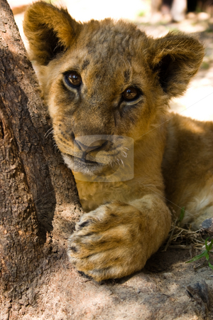 Lion cub portrait stock photo, A 3 month old lion cub look curiously at the camera by Darren Pattterson