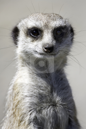 Meercat stock photo, Close up of a meercat on watching for preditors by Darren Pattterson