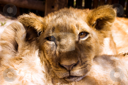 Lion cub portrait stock photo, Lion cub relaxing with head resting on another cub, looking at the camera by Darren Pattterson