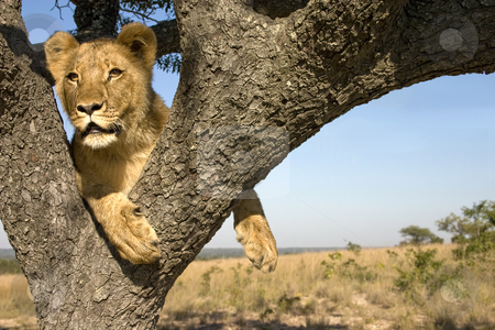 Hanging out II stock photo, A young lion in a tree looking at the surrounding landscape by Darren Pattterson