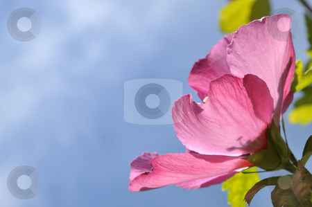 Hibiscus stock photo, Hibiscus in front of a blue sky by Carmen Steiner